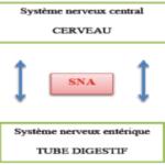 Le chemin de la douleur dans le cas d'un syndrome de l'intestin irritable