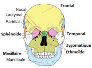 Scémas des différents os qui composent le crâne humain