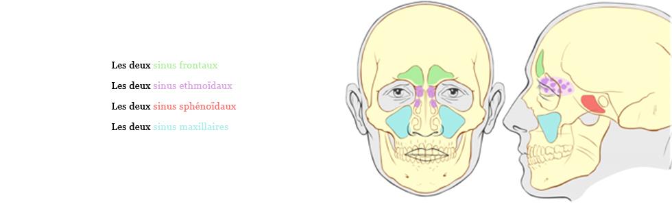 Il existe huit sinus différents dans le crâne, répartis en quatre familles