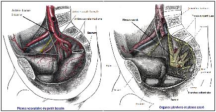 Le sacrum compte des raccords veineux, lymphatiques et ligamentaires