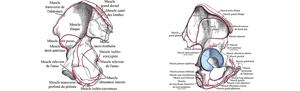 insertions-musculaires-os-coxal