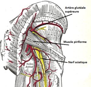 Le piriforme est vascularisé par l'artère glutéale supérieure