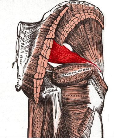 Le piriforme est un muscle profond de la région fessière