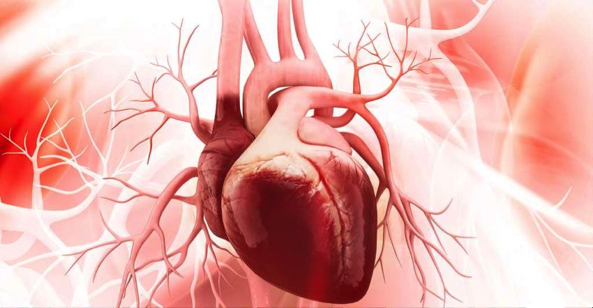 Le coeur, l'organe de vie du corps humain