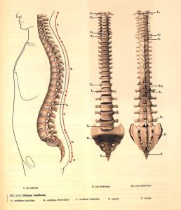 Shéma de la colonne vertébrale, vues latérals et de front