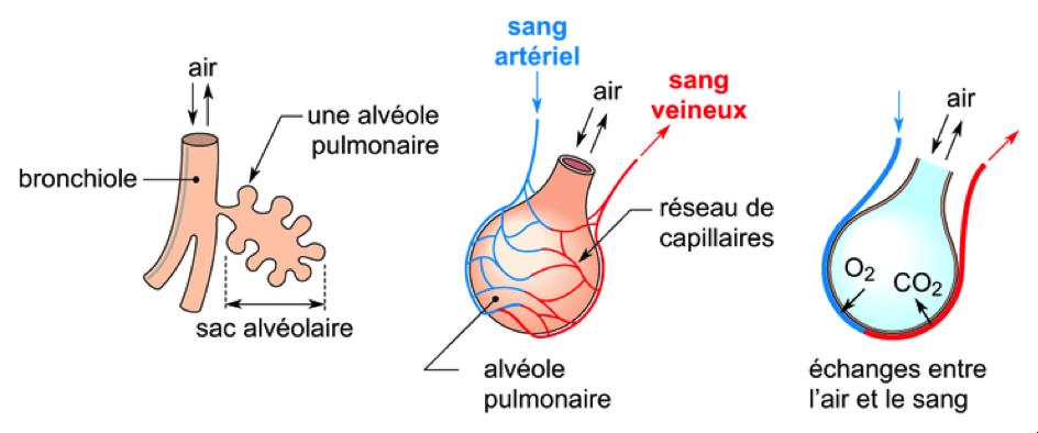 Le trajet de l'air dans le corps à travers les poumons