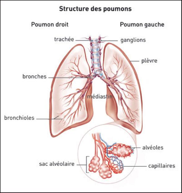 Les poumons ne sont pas symétriques contrairement à ce que l'ont pense