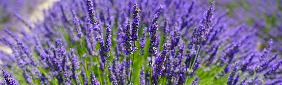 L'été, de nombreuses plantes peuvent aider aux désagréments de la chaleur comme les jambes lourdes