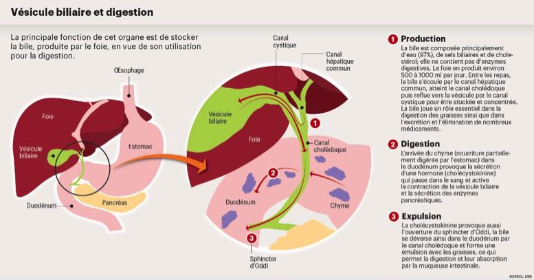 La vésicule bilaire aide le foie dans son action