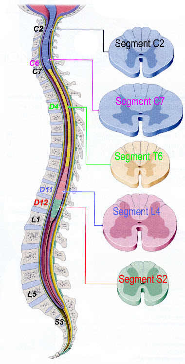 segment médullaire
